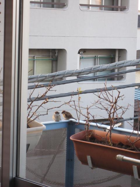 スズメのカップルが遊びにきてた [photo]
