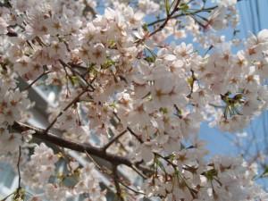 桜の森の満開の下  満開!満開!とにかく満開! [Photo]