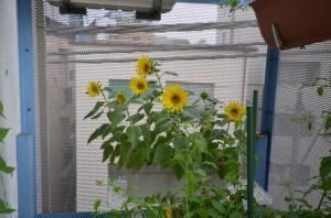 ベランダのヒマワリが咲いた♬