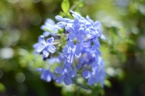 2011年8月24日 朝の花たち点描