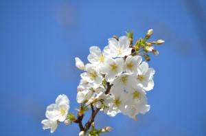 美しきかな 小石川  播磨坂と植物園の桜 [Photo]