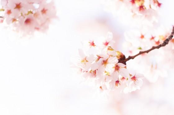 Sakura of hope. Prayer revival