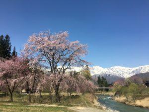 大出公園(おおいでこうえん) 〜 白馬の桜 絶景スポットはここ! 桜と吊り橋と白馬連峰のコラボが息を飲む美しさだった!!  [2016年4月 長野旅行記 33]