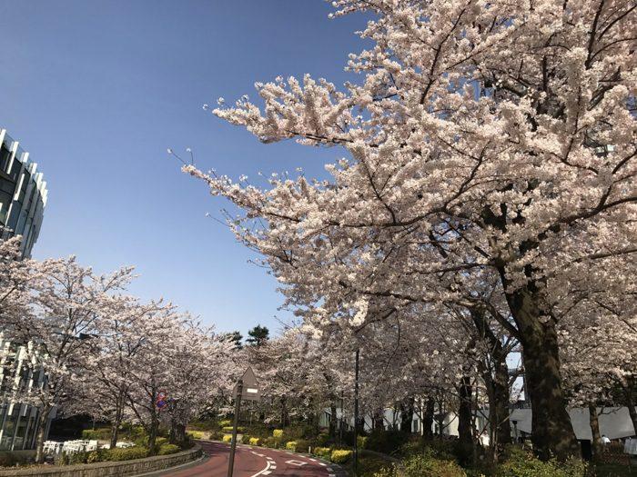 満開の六本木・赤坂・目黒川 2017年の桜の写真たち その1 [桜]
