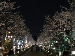 鎌倉 鶴岡八幡宮 段葛(だんかずら)の満開の夜桜 〜 全部の桜の木を植え替えたので若木だけれど美しかった!! [鎌倉ライフ]